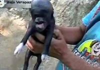 危地马拉住民发明外星猪 官方称系动物变异