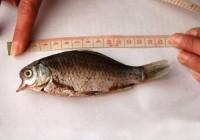 河南鹤壁发明有数变异鲫鱼 嘴巴尖尖似鸟嘴